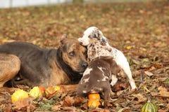 Hund Louisianas Catahoula, der mit Welpen spielt Lizenzfreie Stockbilder