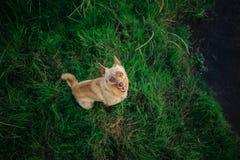 Hund mögen den Fuchs, der auf grünem Gras sitzt und oben schaut stockbilder
