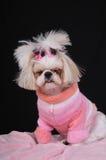Hund müdes Shih Tzu Lizenzfreie Stockfotos
