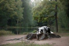 Hund Marmor-border collie draußen Lizenzfreie Stockfotos