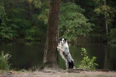 Hund Marmor-border collie draußen Lizenzfreie Stockbilder