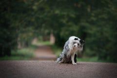 Hund Marmor-border collie draußen Stockfoto