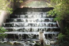 Hund Marmor-border collie am Wasserfall Stockfotos