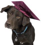 Hund med akademikermössan Arkivfoton