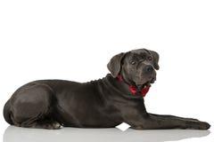 Hund med bandet Royaltyfri Foto