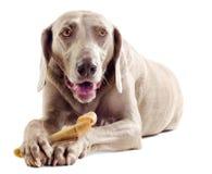 Hund med benet royaltyfri bild