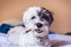 Hund med blyertspennan i munnen Royaltyfri Foto