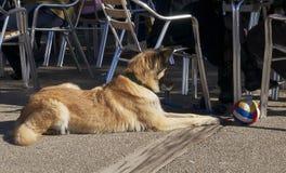 Hund med bollen Royaltyfria Bilder