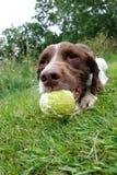 Hund med bollen Arkivfoto
