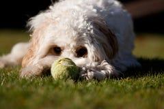 Hund med bollen Royaltyfri Bild