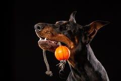 Hund med bollen dobermanpinscher med bollen i munnen som isoleras på svart bakgrund royaltyfria foton