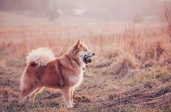 Hund med bollen i fältet Royaltyfri Fotografi