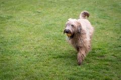 Hund med bollen i gård Royaltyfria Bilder