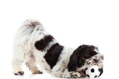 Hund med bollen som isoleras på vit bakgrundsfotboll Arkivfoton