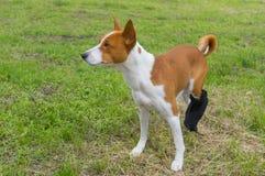 Hund med brutna förband bakfoten som har den första utomhus- promenaden efter kirurgin fotografering för bildbyråer