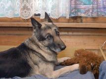 Hund med den rev sönder leksaken Royaltyfri Fotografi