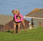 Hund med den rosa frisbeeleksaken Royaltyfri Bild