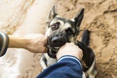 Hund med den utvändiga spela pinnen för ägare Östligt - européherde T royaltyfria bilder