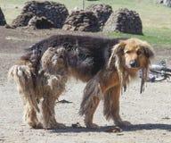 Hund med dreadlocks royaltyfri fotografi