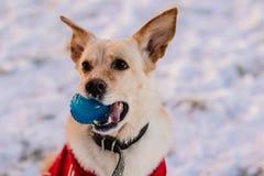 Hund med en boll Arkivfoton