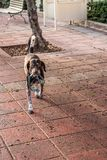 Hund med en kedja i hans mun royaltyfria bilder
