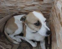 Hund med en klyftig blick fotografering för bildbyråer