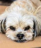 Hund med en ledsen framsida Arkivbild