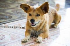 Hund med ett leende Royaltyfri Foto