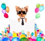 Hund med feriebanret och färgrika ballonger Royaltyfri Foto