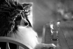Hund med hattsammanträde på stången med drinken Royaltyfri Bild