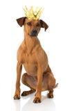 Hund med kronan Arkivfoton