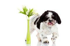Hund med liljekonvaljen som isoleras på vit bakgrund vårvår Arkivbild