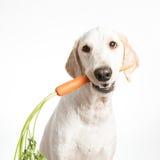 Hund med moroten royaltyfria bilder