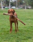 Hund med muntlig fixering fotografering för bildbyråer