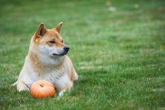 Hund med pumpa Fotografering för Bildbyråer