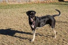 Hund med repleksaken Royaltyfria Foton