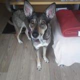 Hund med roliga öron Arkivbild
