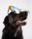 Hund med roliga exponeringsglas Royaltyfri Foto
