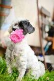 Hund med rosa färgrosen i munnen Arkivbilder