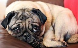 Hund med SAD ögon Arkivbild