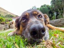 Hund med SAD ögon royaltyfri fotografi