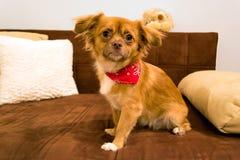 Hund med scarfen som poserar på soffan Arkivfoto