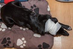 Hund med skada royaltyfria foton