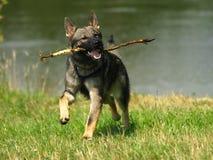Hund med sticken. Royaltyfri Bild