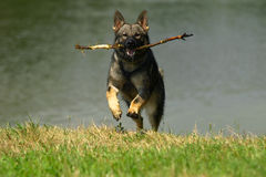 Hund med sticken. Arkivbilder