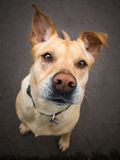 Hund med stora öron och ett roligt uttryck på hans framsida Royaltyfri Fotografi