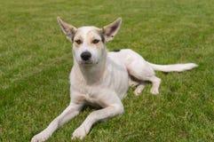 Hund med svullna kinder, efter kryp` s har stuckit att ligga på en grön gräsmatta arkivbild
