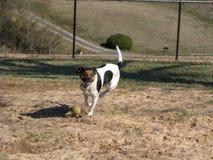 Hund med tennisbollen Royaltyfri Fotografi