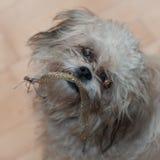 Hund med toyen Royaltyfri Fotografi