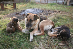 Hund med valpar Royaltyfria Bilder